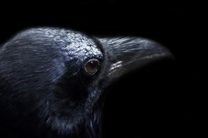 raven_208168