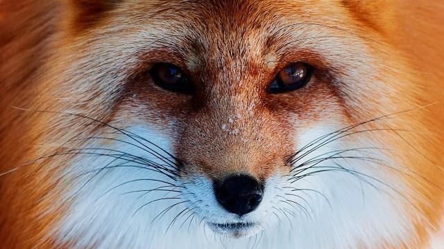 fox-wallpaper-high-resolution-3yc3