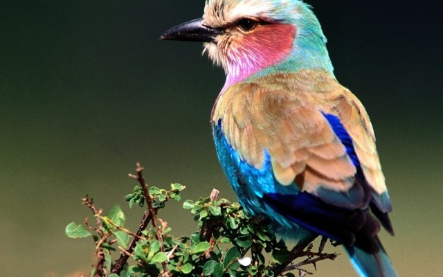 nature-birds-lilac-breasted-roller-wallpaper-152726