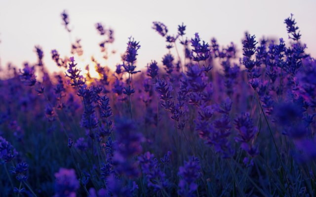 tumblr_static_field-lavender-purple-flowers-nature-photo-wallpaper-2560x1600